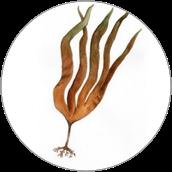 Laminaria Digitata Extract - Wyciąg z listownicy palczastej