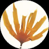 Laminaria Hyperborea Extract - Ekstrakt z laminarii północnej