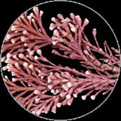 Jania Rubens Extract, Czerwone algi