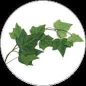 Hedera Helix (Ivy) Extract - Ekstrakt z bluszczu pospolitego