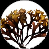 Chondrus Crispus (Carrageenan) - Ekstrakt z chrząstnicy kędzierzawej